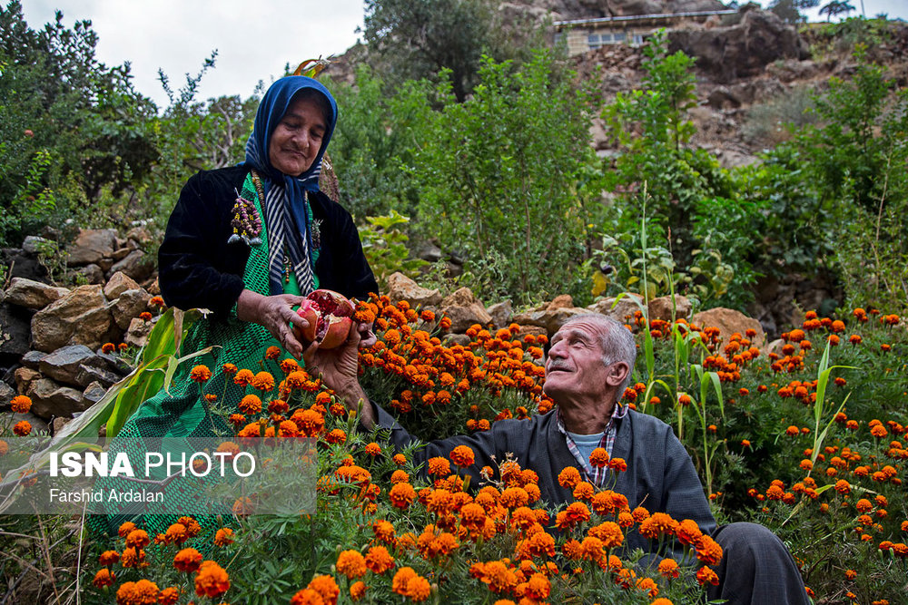 برداشت «انار» از باغات اورامانات کردستان